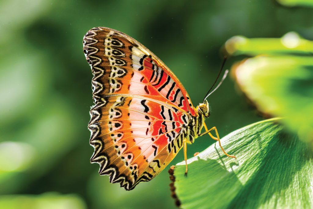 Red Lacewing. Photo courtesy of Frederik Meijer Gardens.
