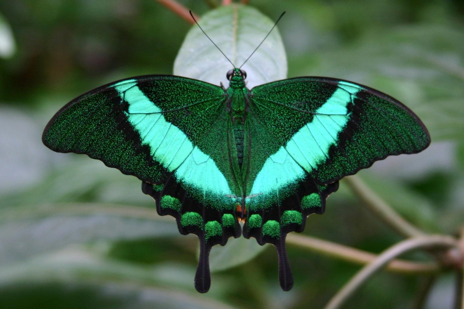 Emerald Swallowtail. Photo courtesy of Frederik Meijer Gardens.