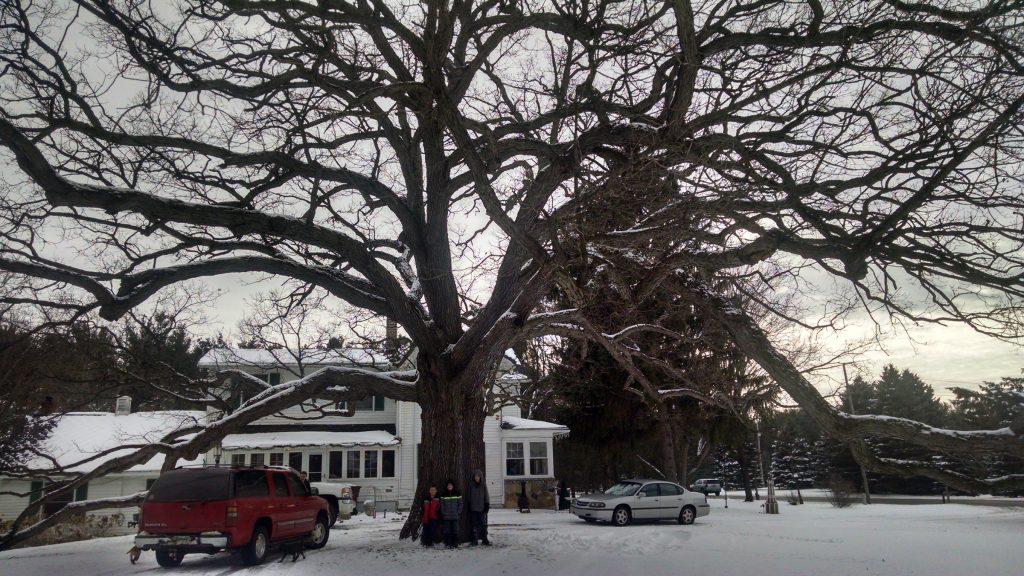 "Ingham Co. (Haslett): White oak, 184"" circumference"