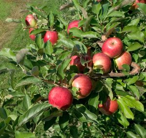 Robinette's apples