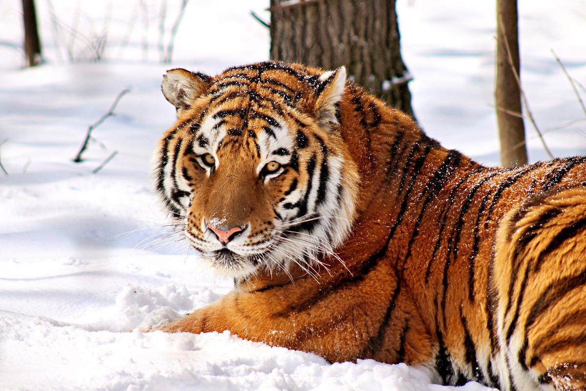John Ball Zoo tiger