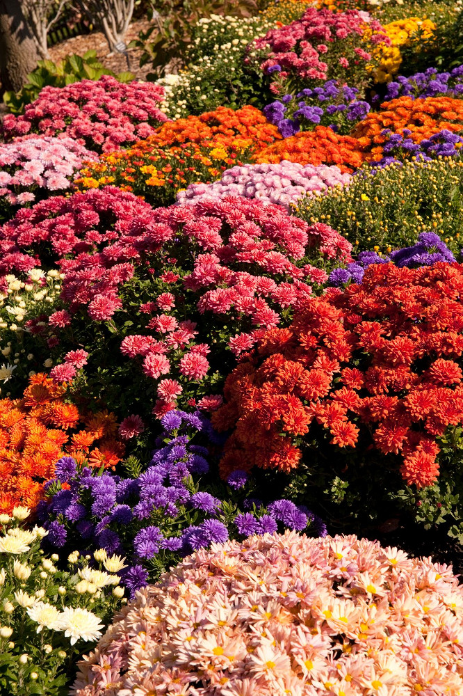 Meijer Gardens outdoor chrysanthemums - photo by Kevin Beswick