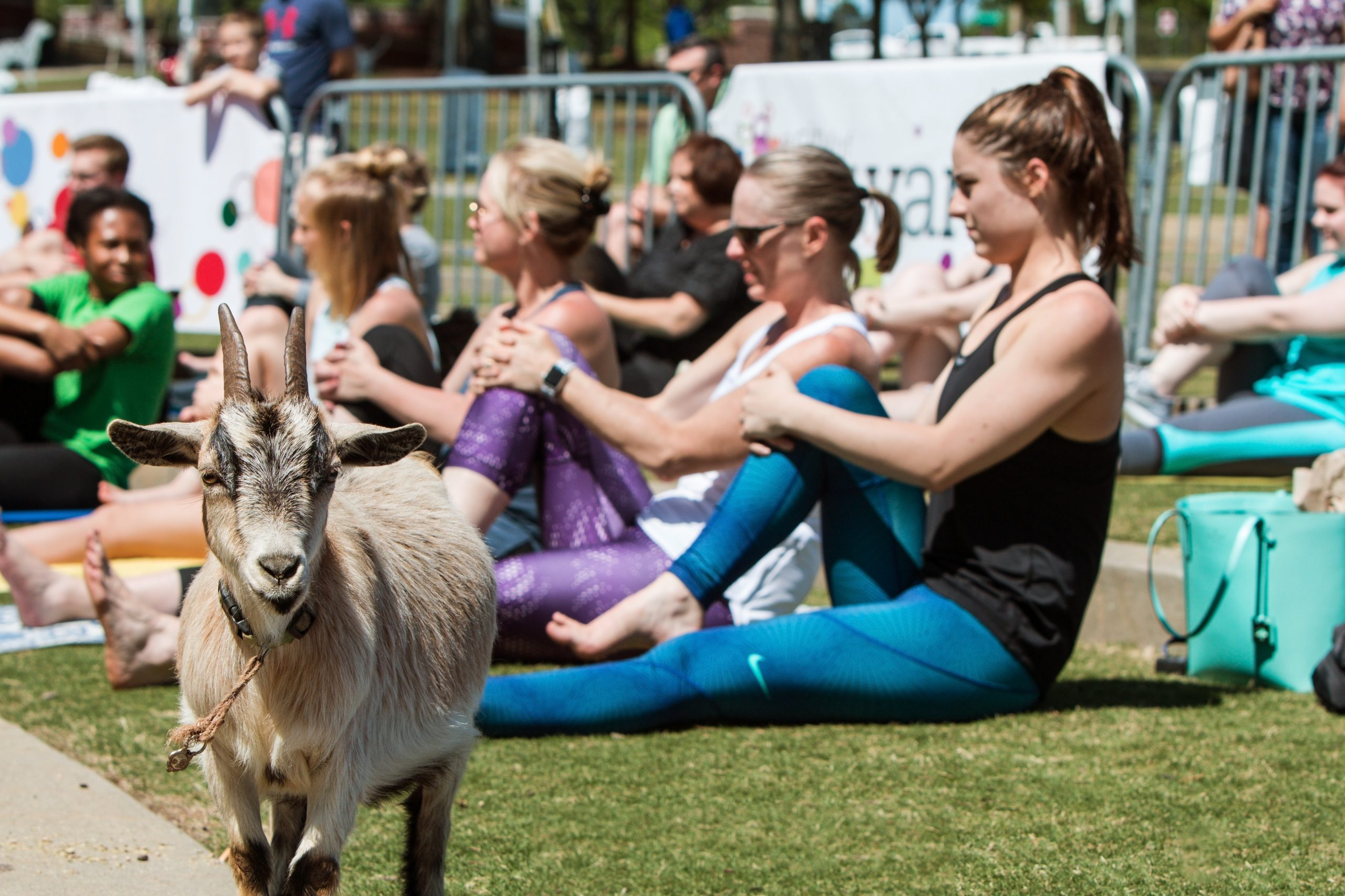 Goat Stands Among Women Stretching At Outdoor Goat Yoga Class